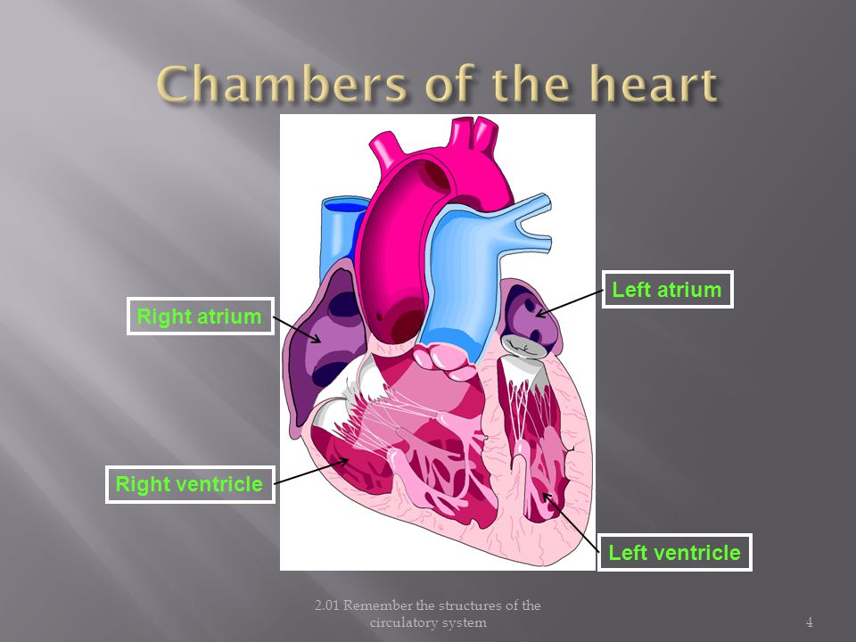 2.01 Remember the structures of the circulatory system4 Right atrium Right ventricle Left atrium Left ventricle
