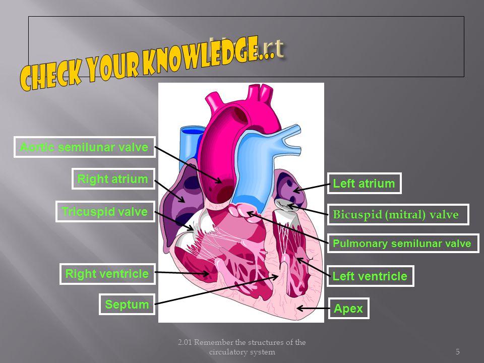 2.01 Remember the structures of the circulatory system5 Right atrium Tricuspid valve Bicuspid (mitral) valve Left atrium Pulmonary semilunar valve Aortic semilunar valve Apex Septum Right ventricle Left ventricle