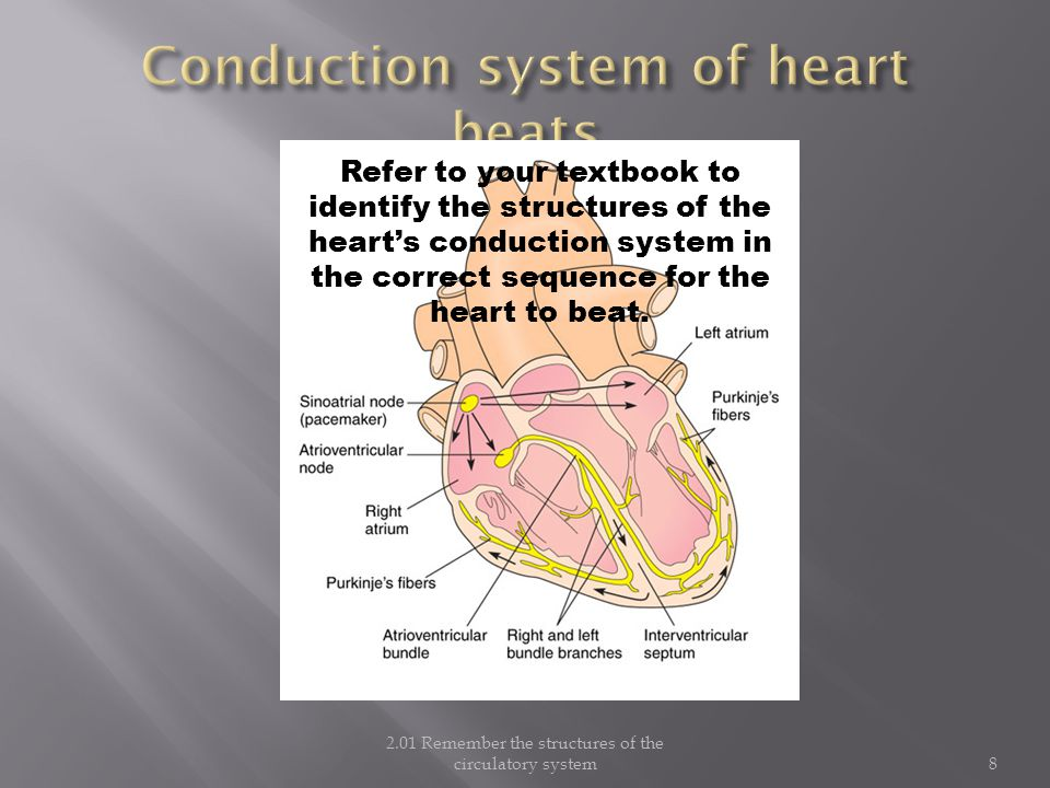8 Refer to your textbook to identify the structures of the heart's conduction system in the correct sequence for the heart to beat.