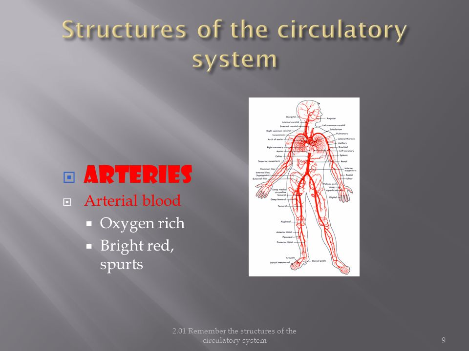  ARTERIES  Arterial blood  Oxygen rich  Bright red, spurts 2.01 Remember the structures of the circulatory system9