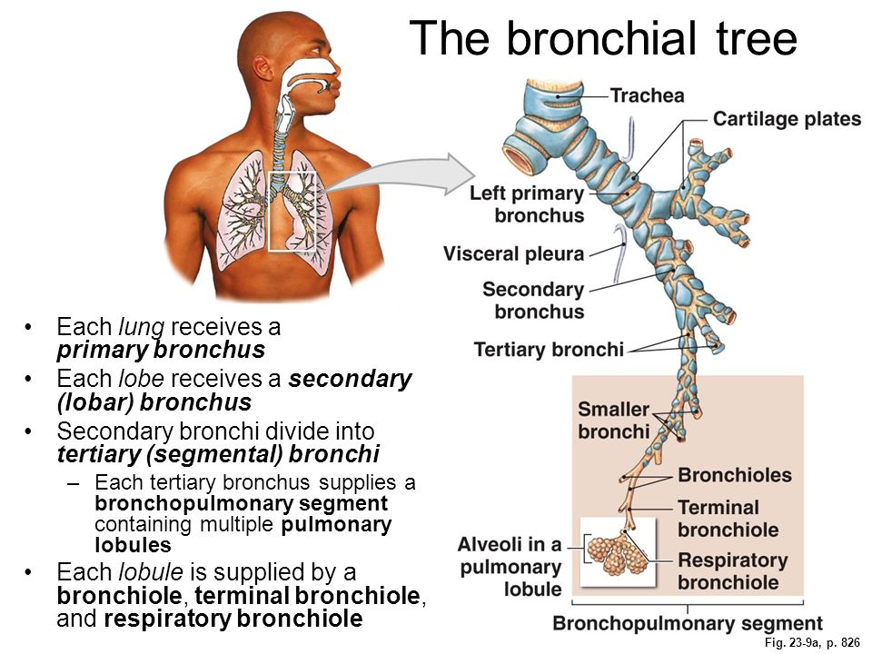 The bronchial tree Each lung receives a primary bronchus Each lobe receives a secondary (lobar) bronchus Secondary bronchi divide into tertiary (segme
