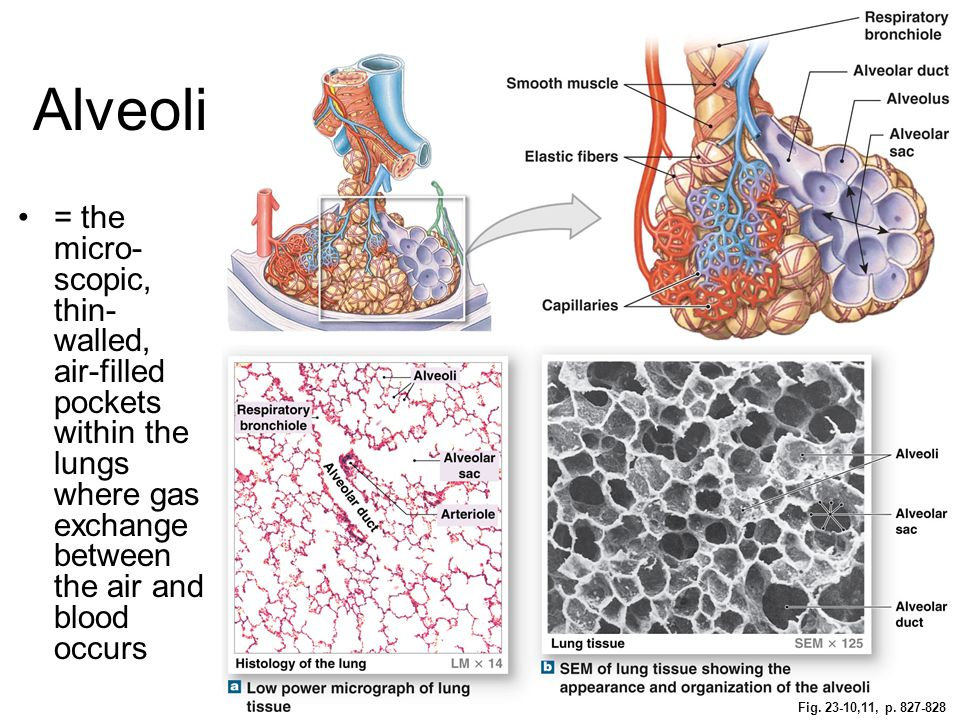 Fig. 23-10,11, p. 827-828 Alveoli = the micro- scopic, thin- walled, air-filled pockets within the lungs where gas exchange between the air and blood