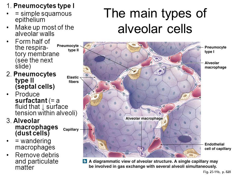 Fig. 23-11b, p. 828 The main types of alveolar cells 1. Pneumocytes type I = simple squamous epithelium Make up most of the alveolar walls Form half o