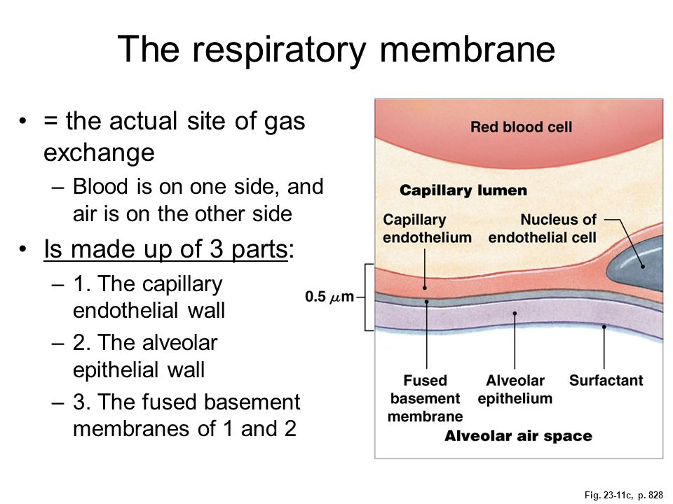 Fig. 23-11c, p. 828 The respiratory membrane = the actual site of gas exchange –Blood is on one side, and air is on the other side Is made up of 3 par