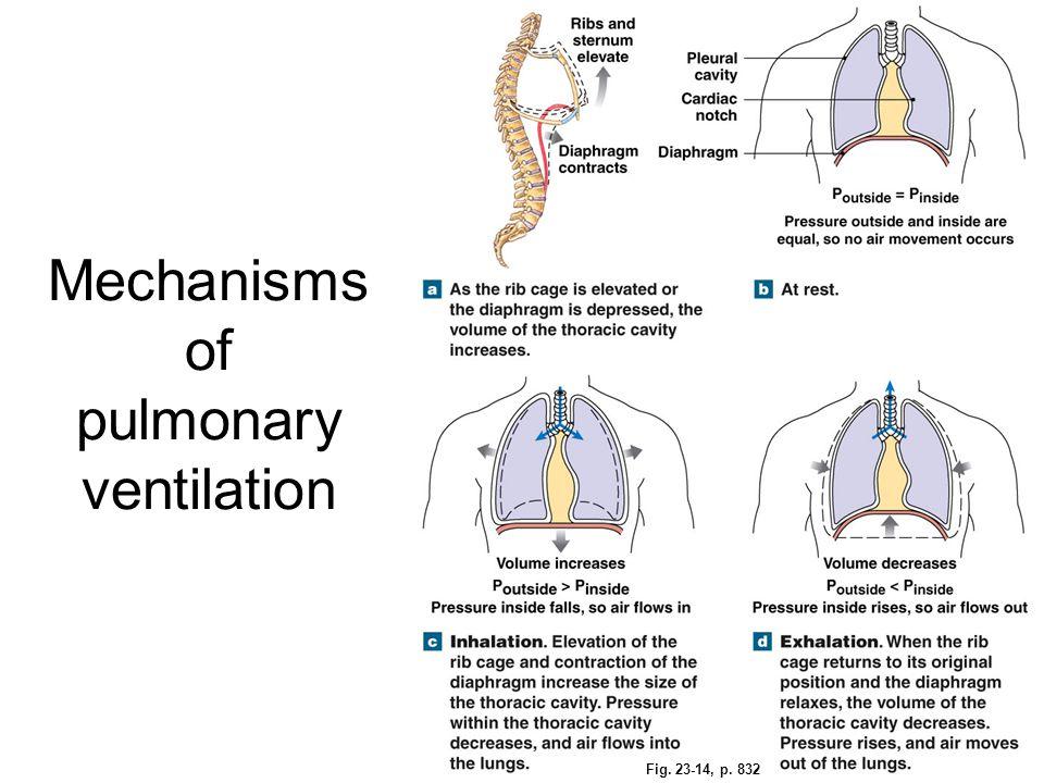 Fig. 23-14, p. 832 Mechanisms of pulmonary ventilation