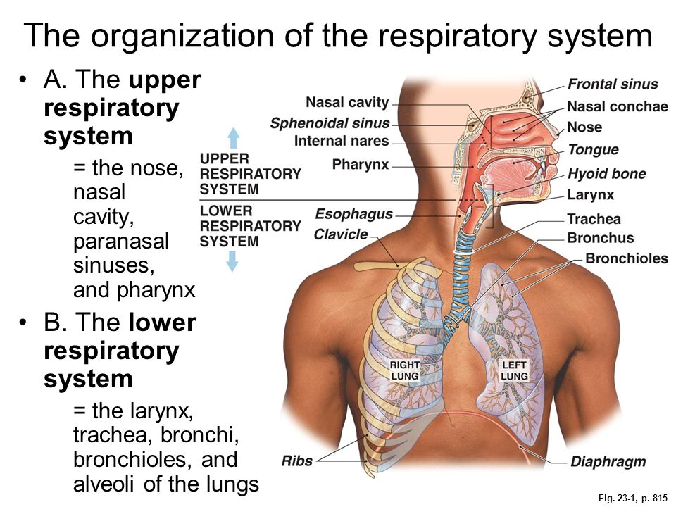 Fig. 23-1, p. 815 The organization of the respiratory system A. The upper respiratory system = the nose, nasal cavity, paranasal sinuses, and pharynx