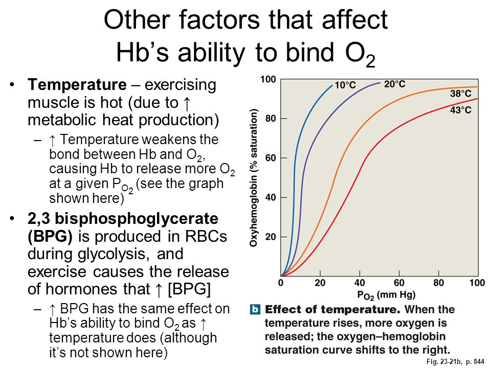 Fig. 23-21b, p. 844 Other factors that affect Hb's ability to bind O 2 Temperature – exercising muscle is hot (due to ↑ metabolic heat production) –↑