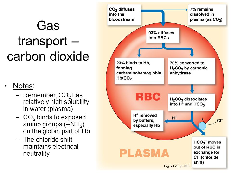 Fig. 23-23, p. 846 Gas transport – carbon dioxide Notes: –Remember, CO 2 has relatively high solubility in water (plasma) –CO 2 binds to exposed amino