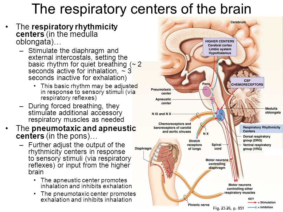 Fig. 23-26, p. 851 The respiratory rhythmicity centers (in the medulla oblongata)… –Stimulate the diaphragm and external intercostals, setting the bas