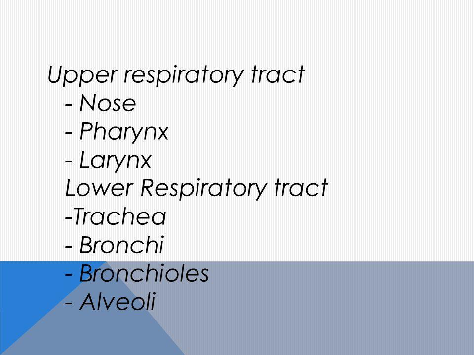 Upper respiratory tract - Nose - Pharynx - Larynx Lower Respiratory tract -Trachea - Bronchi - Bronchioles - Alveoli