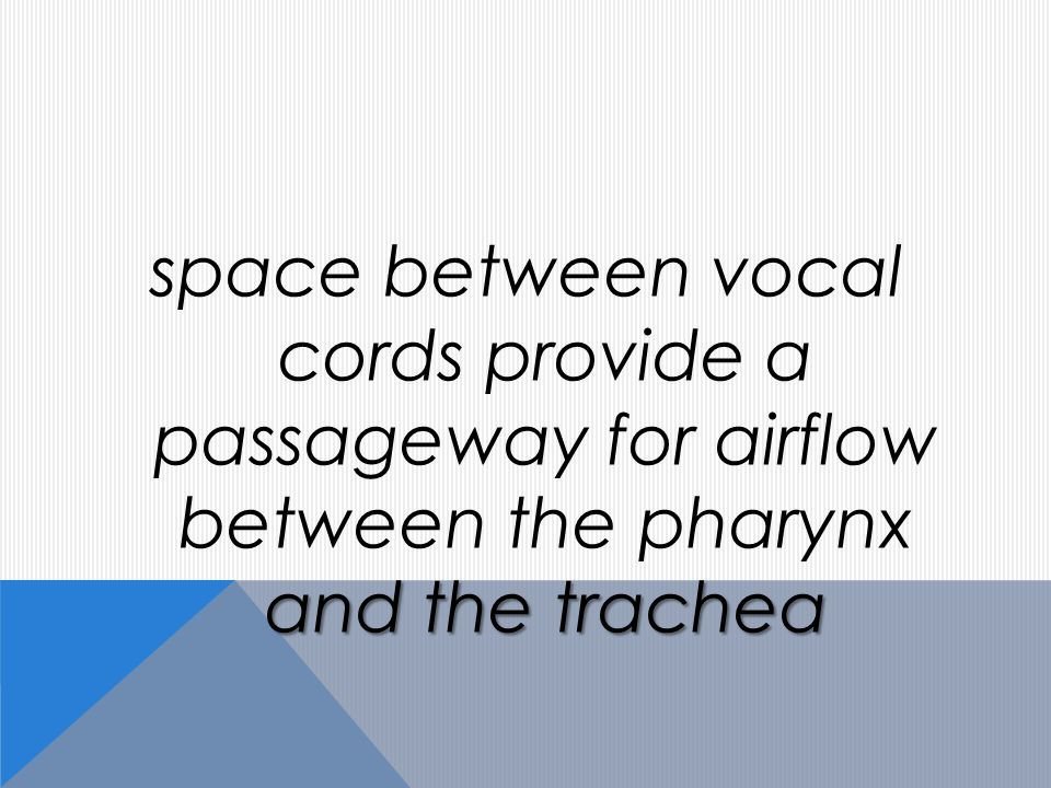 and the trachea space between vocal cords provide a passageway for airflow between the pharynx and the trachea