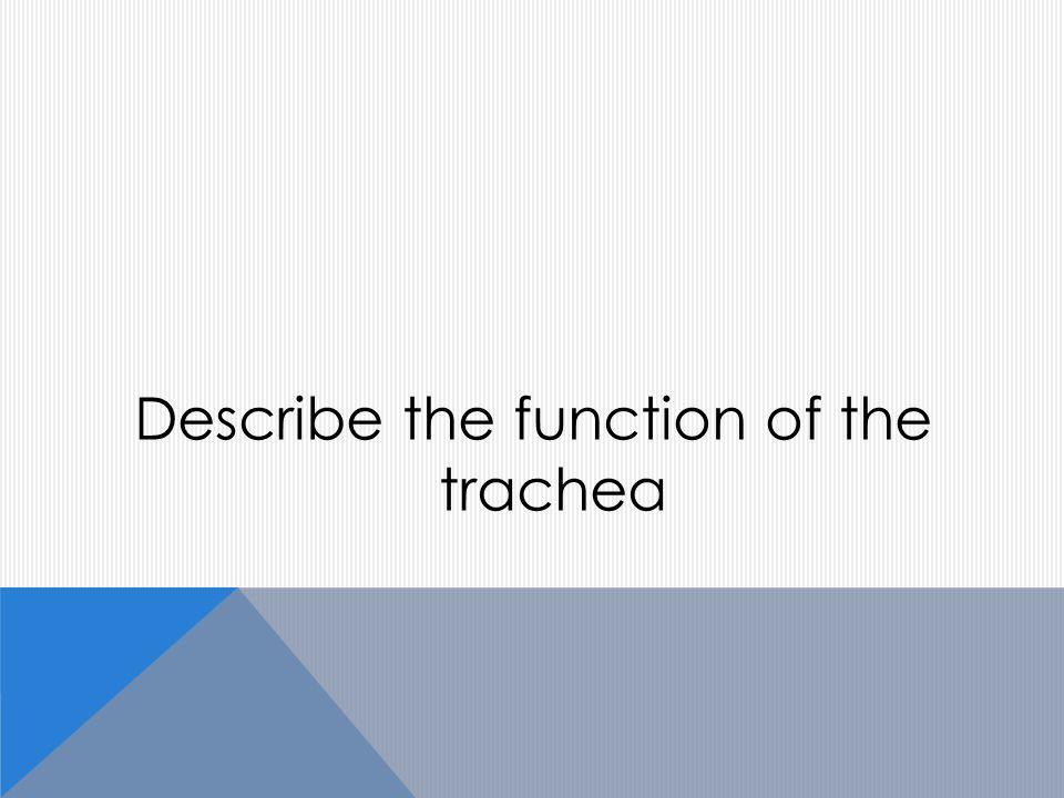 Describe the function of the trachea