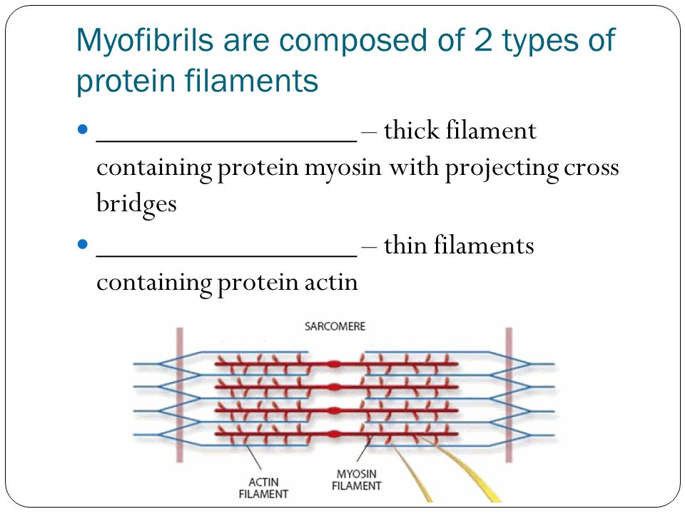 Myofibrils are composed of 2 types of protein filaments _________________ – thick filament containing protein myosin with projecting cross bridges ___