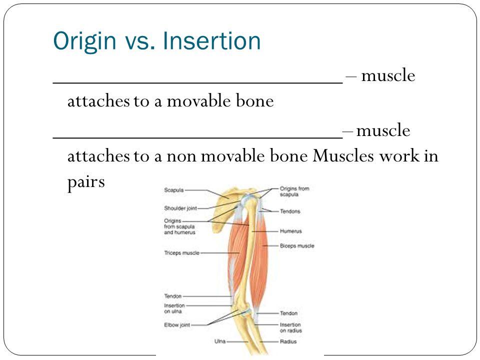 Origin vs. Insertion ___________________________ – muscle attaches to a movable bone ___________________________– muscle attaches to a non movable bon