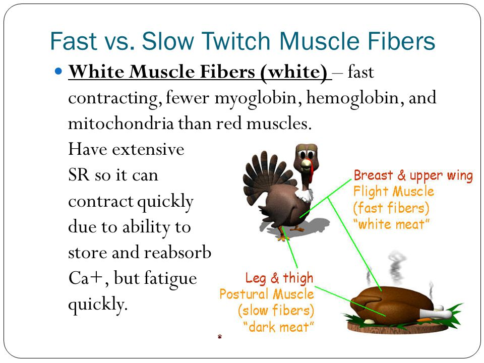 Fast vs. Slow Twitch Muscle Fibers White Muscle Fibers (white) – fast contracting, fewer myoglobin, hemoglobin, and mitochondria than red muscles. Hav