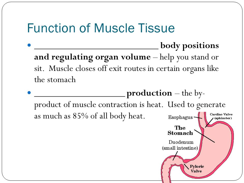 Function of Muscle Tissue __________________________ body positions and regulating organ volume – help you stand or sit. Muscle closes off exit routes