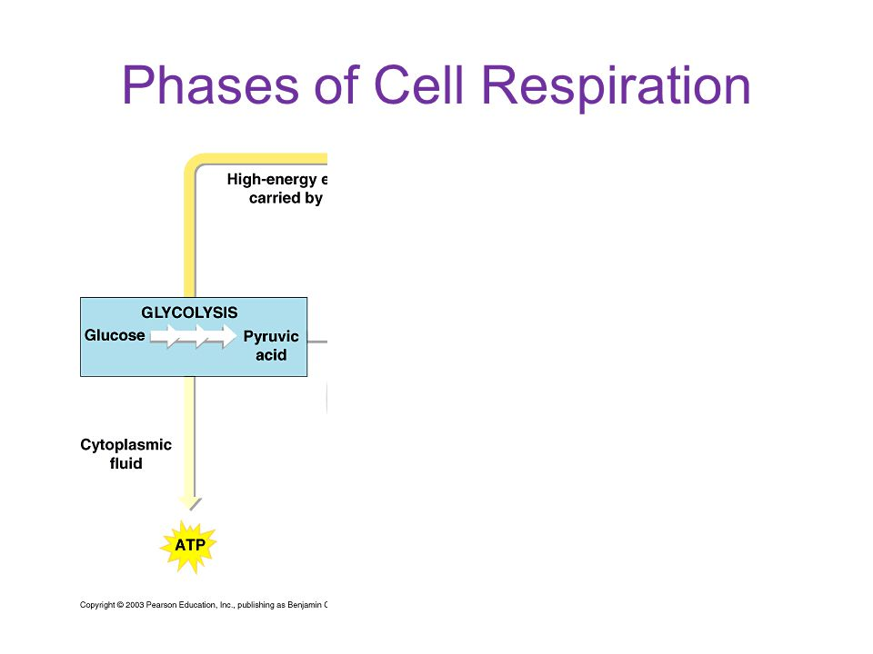 Phases of Cell Respiration