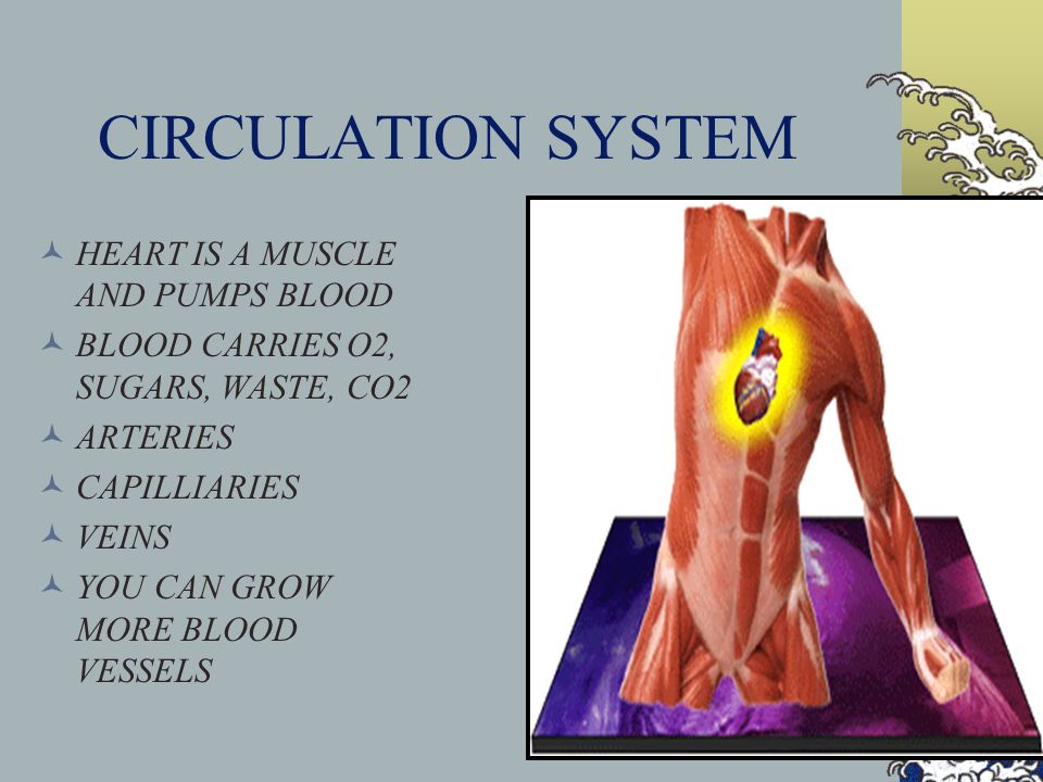 CIRCULATION SYSTEM HEART IS A MUSCLE AND PUMPS BLOOD BLOOD CARRIES O2, SUGARS, WASTE, CO2 ARTERIES CAPILLIARIES VEINS YOU CAN GROW MORE BLOOD VESSELS