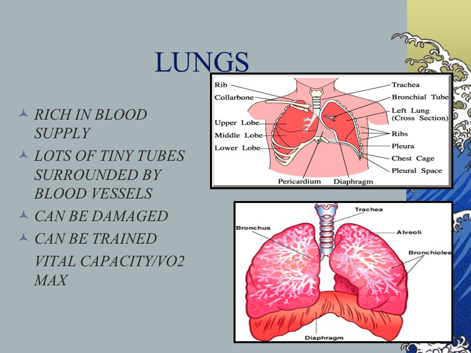 LUNGS RICH IN BLOOD SUPPLY LOTS OF TINY TUBES SURROUNDED BY BLOOD VESSELS CAN BE DAMAGED CAN BE TRAINED VITAL CAPACITY/VO2 MAX