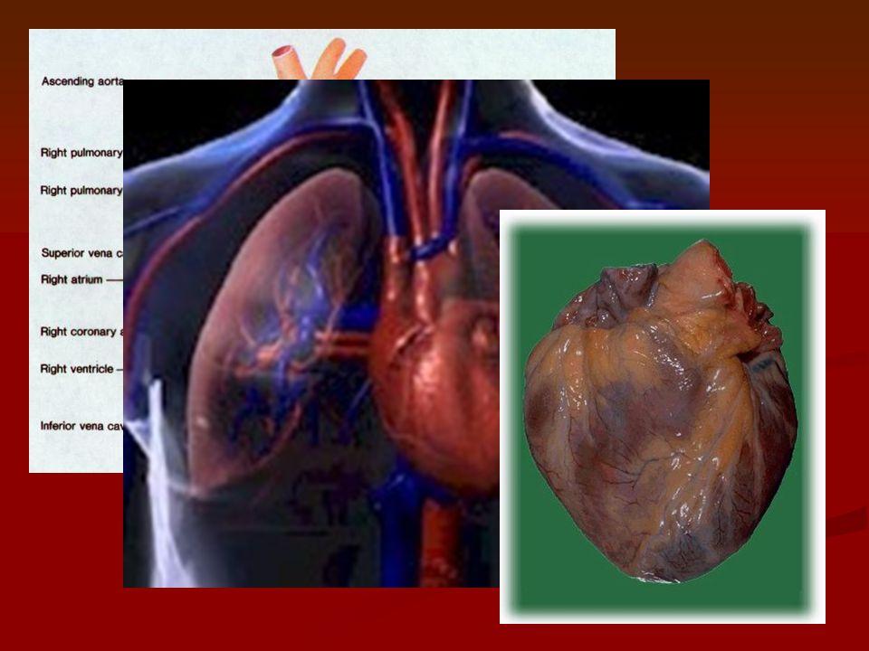 B.Heart – controls blood flow through body 1.