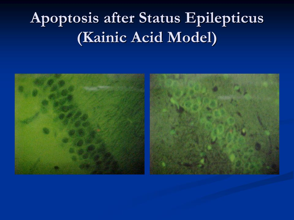 Apoptosis after Status Epilepticus (Kainic Acid Model)