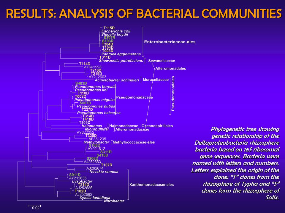 RESULTS: ANALYSIS OF BACTERIAL COMMUNITIES Phylogenetic tree showing genetic relationship of the Deltaproteobacteria rhizosphere bacteria based on 16S ribosomal gene sequences.