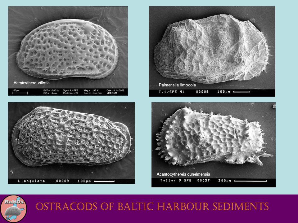 Palmenella limocola Hemicythere villosa Acantocythereis dunelmensis