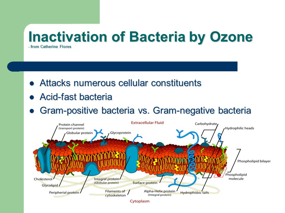 Inactivation of Bacteria by Ozone - from Catherine Flores Attacks numerous cellular constituents Attacks numerous cellular constituents Acid-fast bact