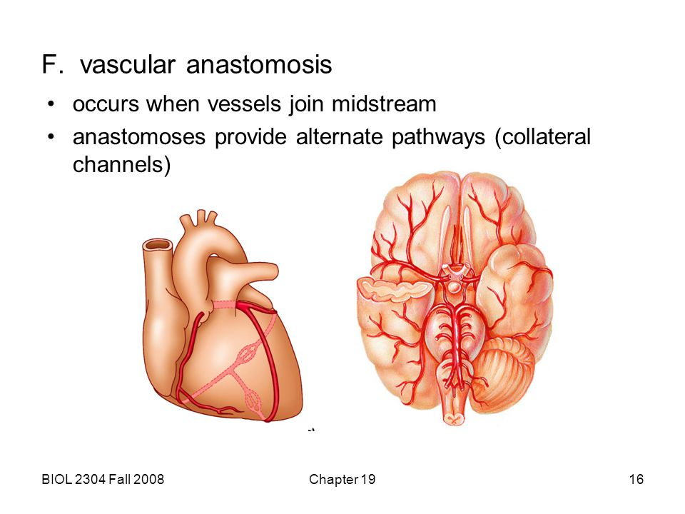 BIOL 2304 Fall 2008Chapter 1916 F. vascular anastomosis occurs when vessels join midstream anastomoses provide alternate pathways (collateral channels