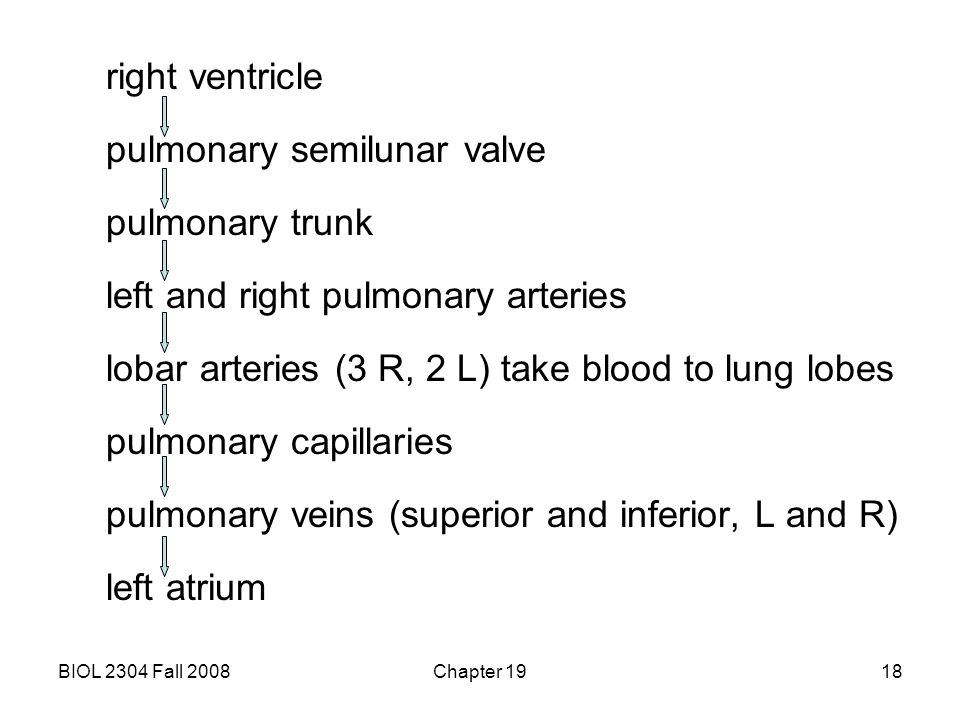 BIOL 2304 Fall 2008Chapter 1918 right ventricle pulmonary semilunar valve pulmonary trunk left and right pulmonary arteries lobar arteries (3 R, 2 L)