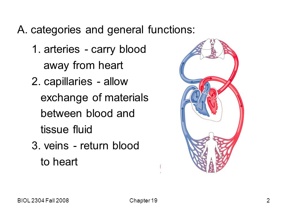 BIOL 2304 Fall 2008Chapter 192 A. categories and general functions: 1. arteries - carry blood away from heart 2. capillaries - allow exchange of mater