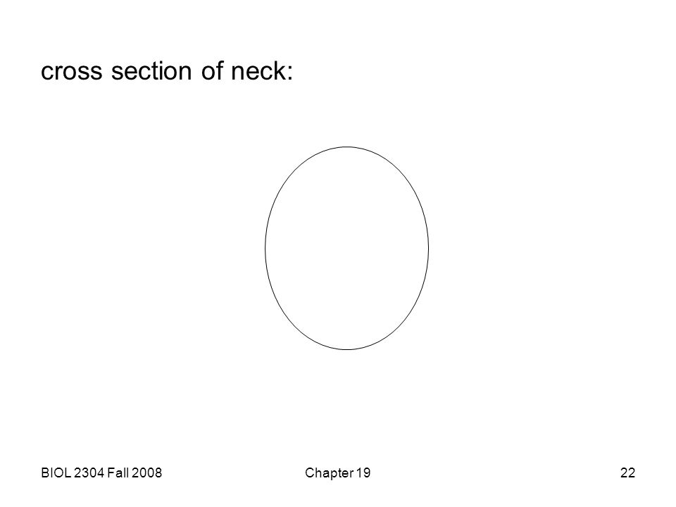 BIOL 2304 Fall 2008Chapter 1922 cross section of neck: