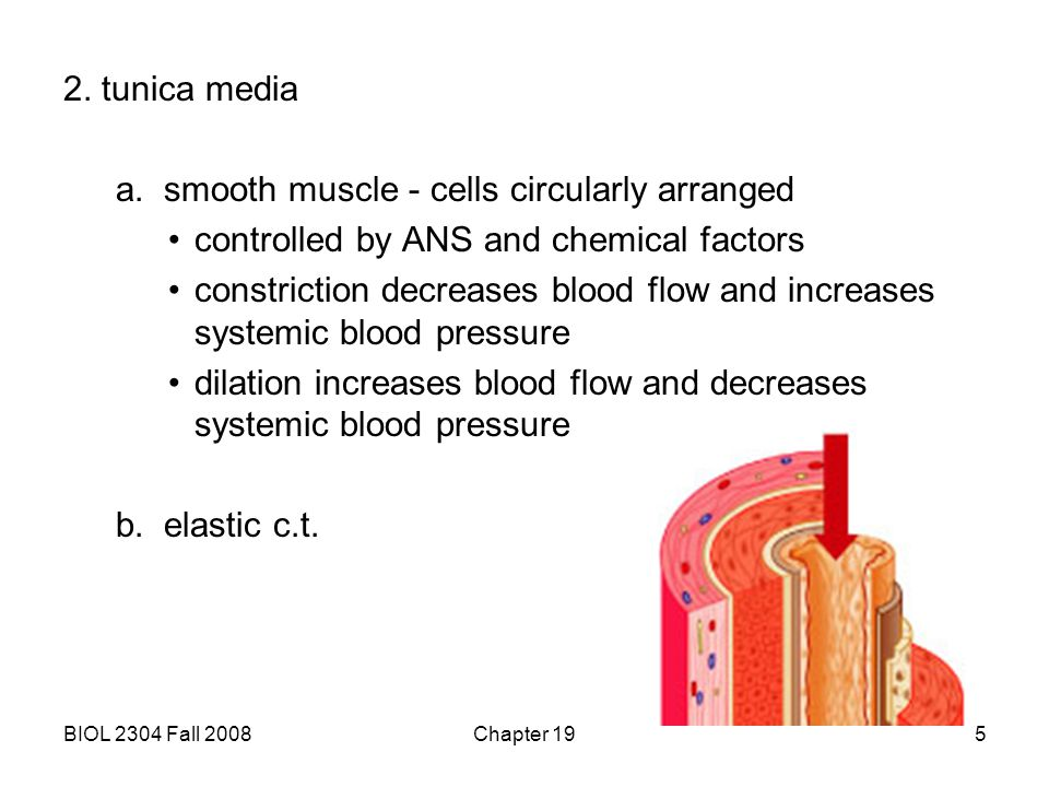 BIOL 2304 Fall 2008Chapter 195 2. tunica media a. smooth muscle - cells circularly arranged controlled by ANS and chemical factors constriction decrea