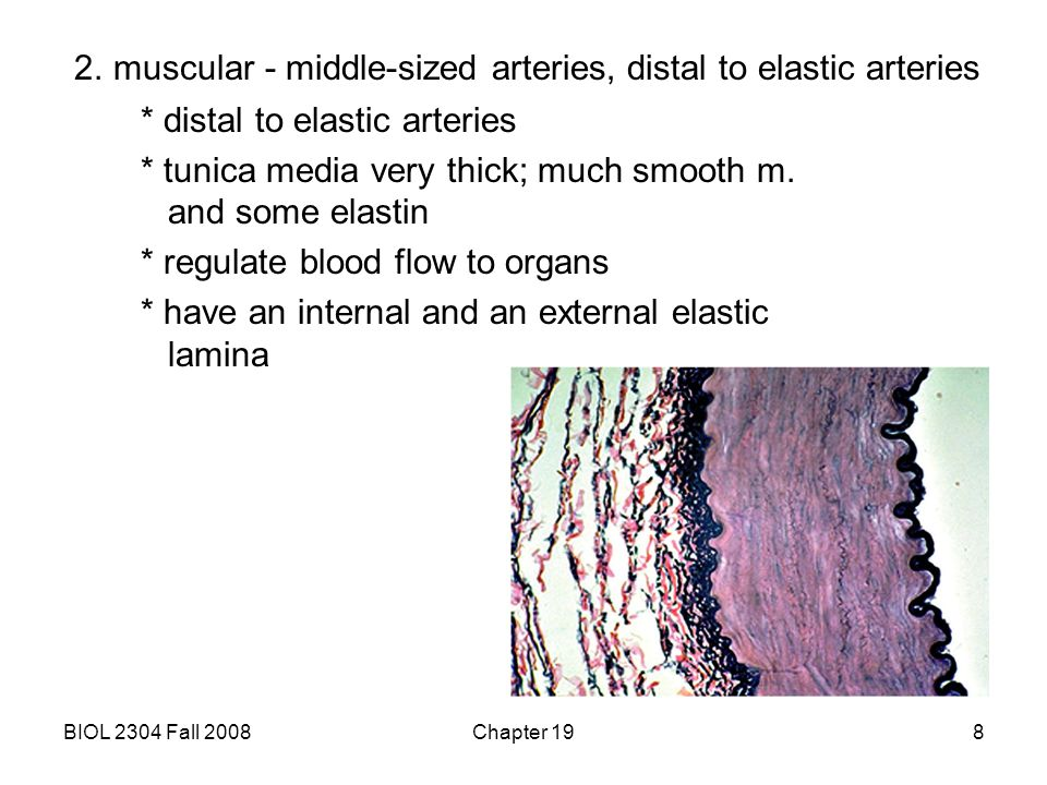 BIOL 2304 Fall 2008Chapter 198 2. muscular - middle-sized arteries, distal to elastic arteries * distal to elastic arteries * tunica media very thick;