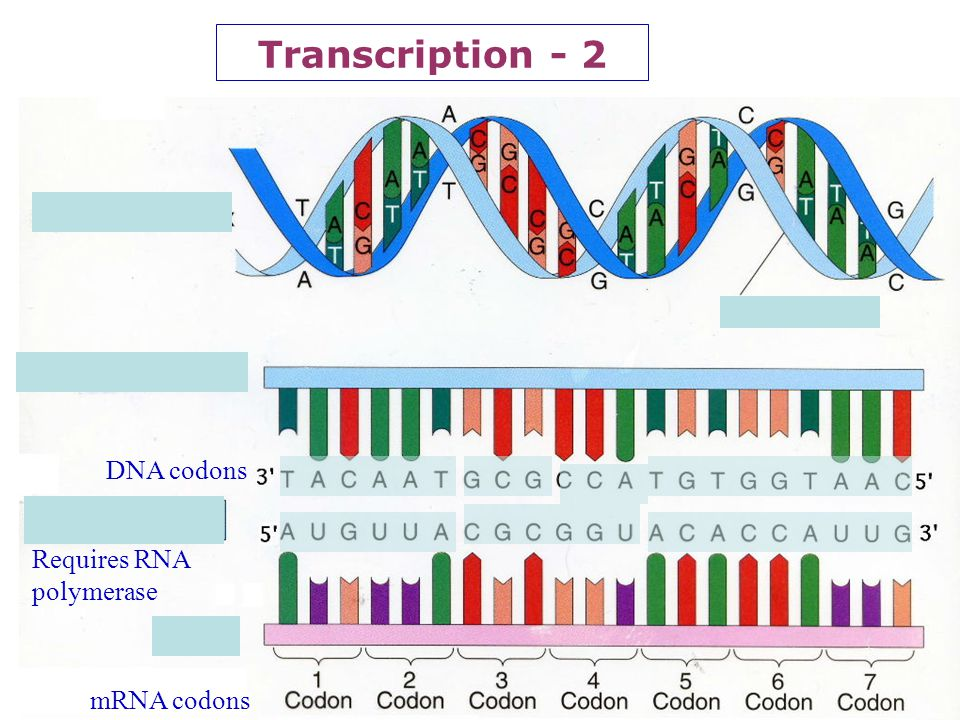 20 Protein Synthesis: Transcription DNA is the molecule which stores the GENETIC CODE but since DNA never leaves the nucleus whereas protein synthesis