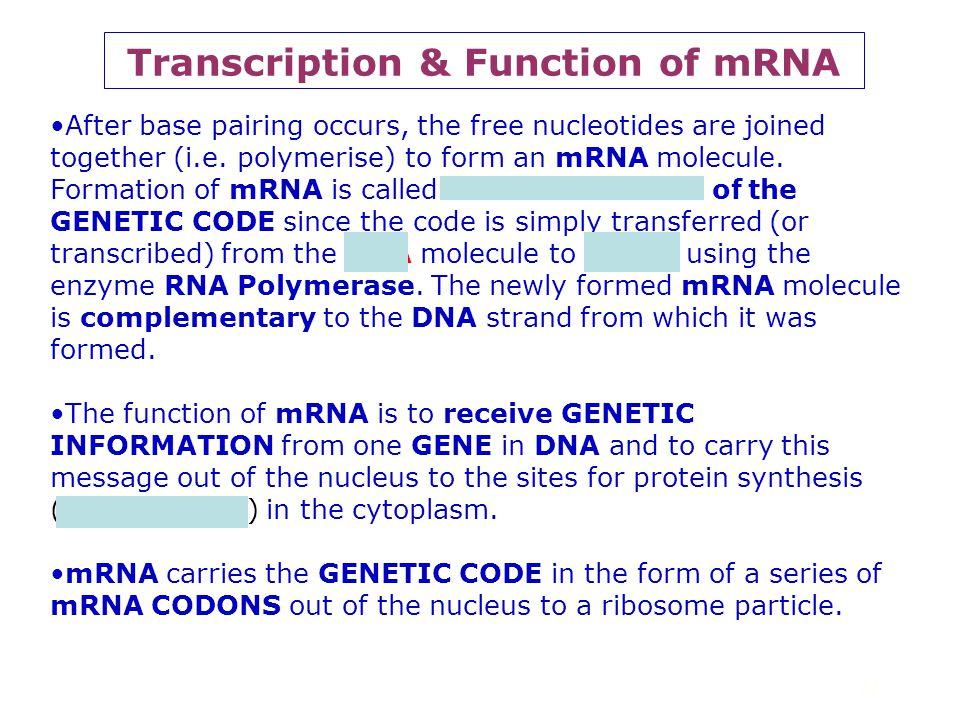 21 Transcription - 2 Requires RNA polymerase DNA codons mRNA codons