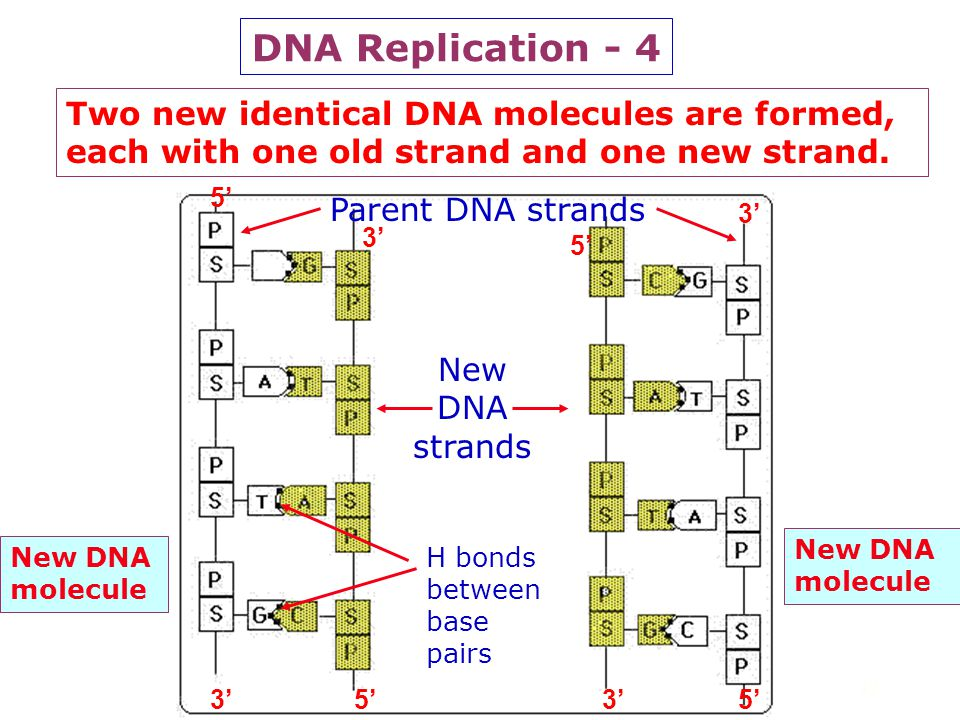 31 DNA Replication - 3 Step 2: Each parent strand acts as a template for a new DNA strand growing antiparallel to the old strand in a 5 '----> 3' dire
