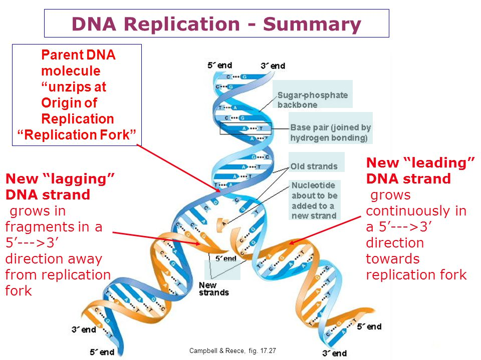 32 DNA Replication - 4 New DNA molecule Two new identical DNA molecules are formed, each with one old strand and one new strand. Parent DNA strands Ne