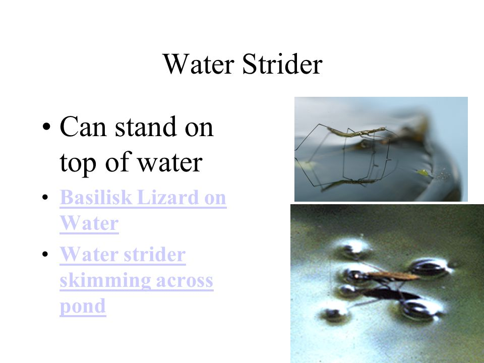 Water Strider Can stand on top of water Basilisk Lizard on WaterBasilisk Lizard on Water Water strider skimming across pondWater strider skimming acro