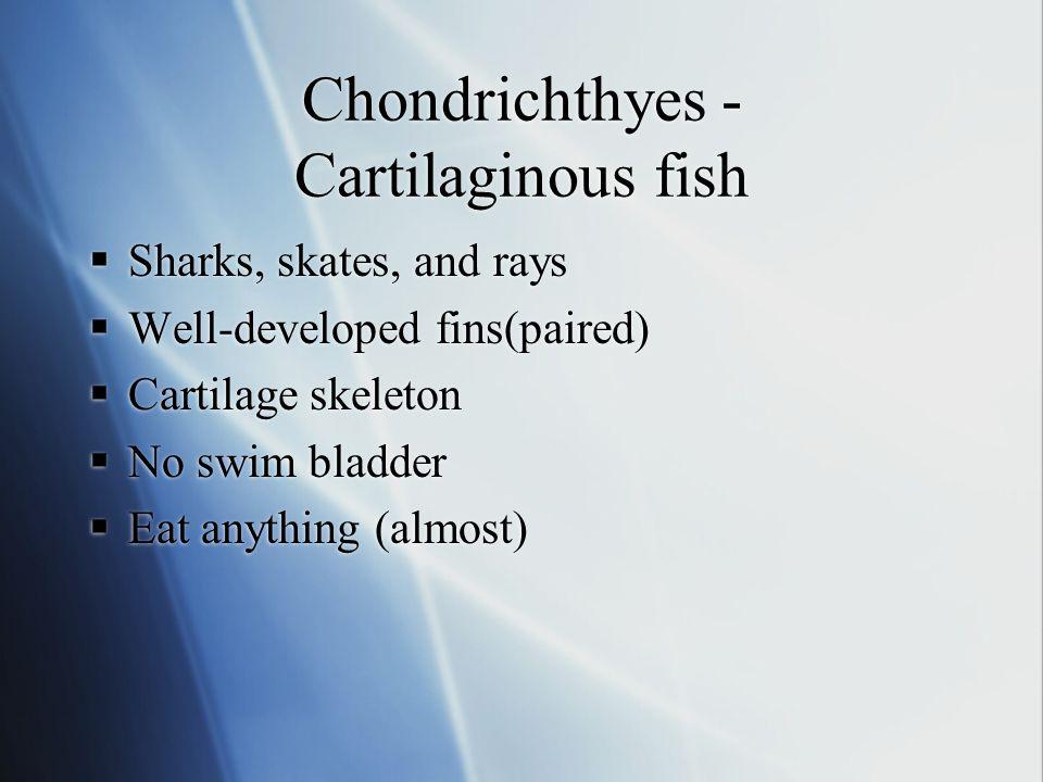  Sharks, skates, and rays  Well-developed fins(paired)  Cartilage skeleton  No swim bladder  Eat anything (almost)  Sharks, skates, and rays  W