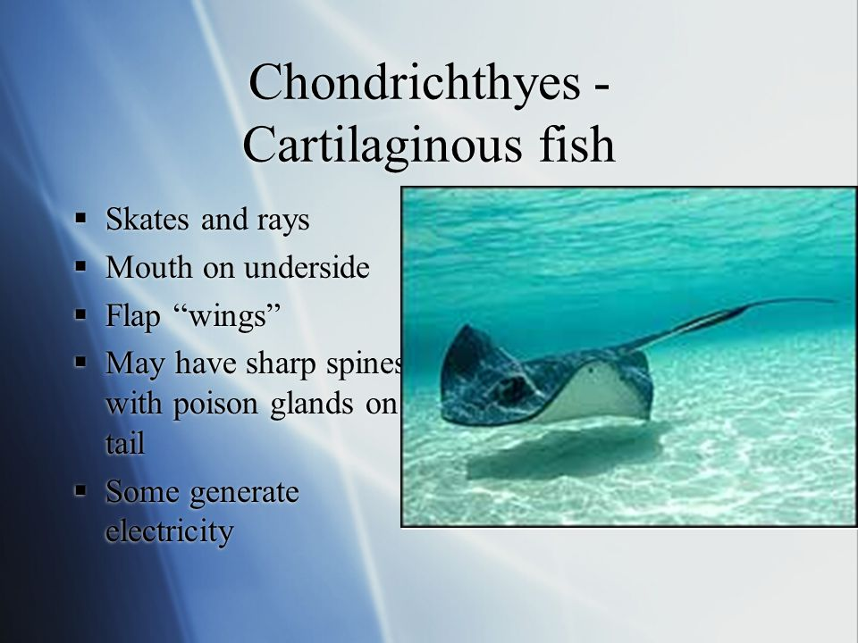 """Chondrichthyes - Cartilaginous fish  Skates and rays  Mouth on underside  Flap """"wings""""  May have sharp spines with poison glands on tail  Some ge"""