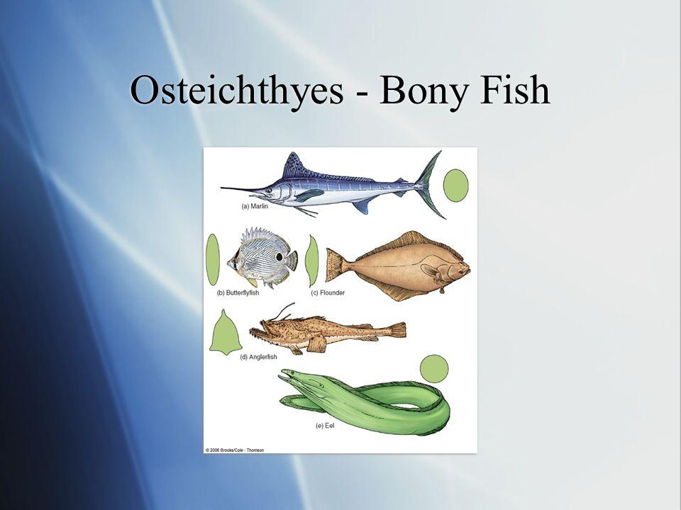 Osteichthyes - Bony Fish