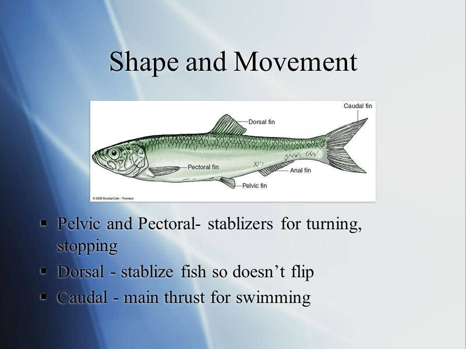 Shape and Movement  Pelvic and Pectoral- stablizers for turning, stopping  Dorsal - stablize fish so doesn't flip  Caudal - main thrust for swimmin