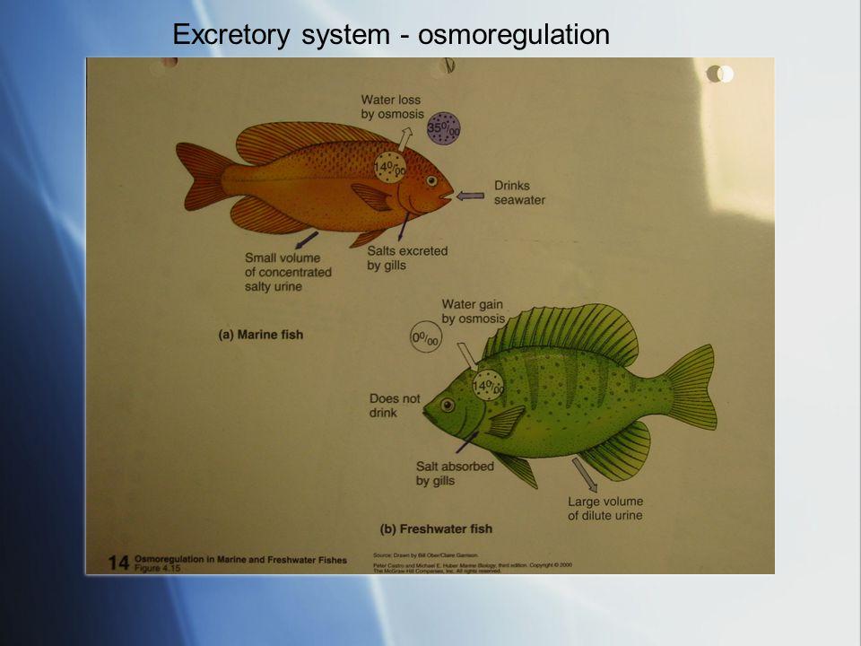 Excretory system - osmoregulation