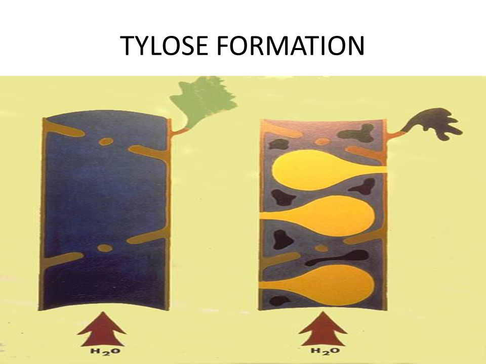 TYLOSE FORMATION