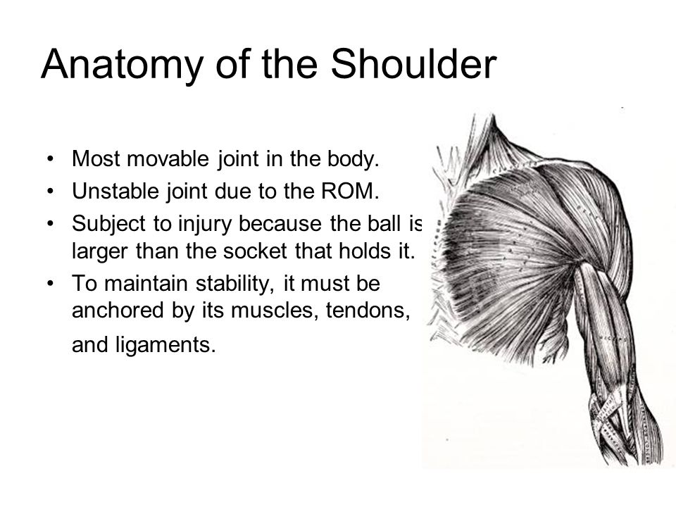 Anatomy of the Shoulder Most movable joint in the body.