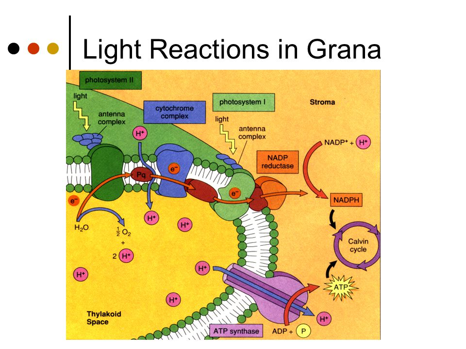 Updated 1/20/05Created by C. Ippolito Jan 11, 2003 Updated Feb 2, 2004 Light Reactions in Grana