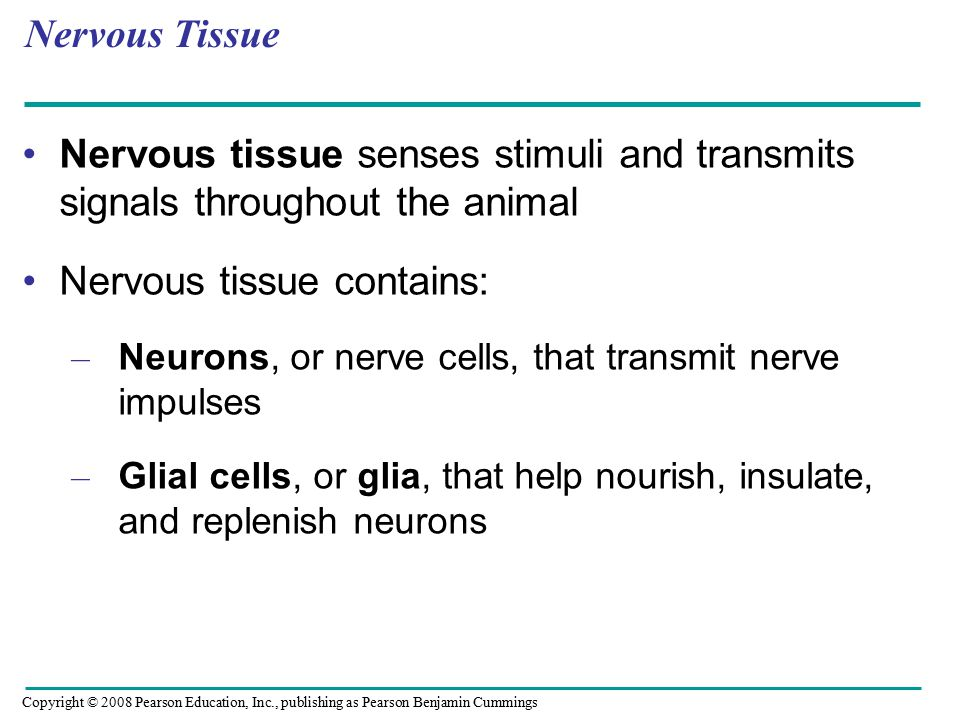Nervous Tissue Nervous tissue senses stimuli and transmits signals throughout the animal Nervous tissue contains: – Neurons, or nerve cells, that transmit nerve impulses – Glial cells, or glia, that help nourish, insulate, and replenish neurons Copyright © 2008 Pearson Education, Inc., publishing as Pearson Benjamin Cummings