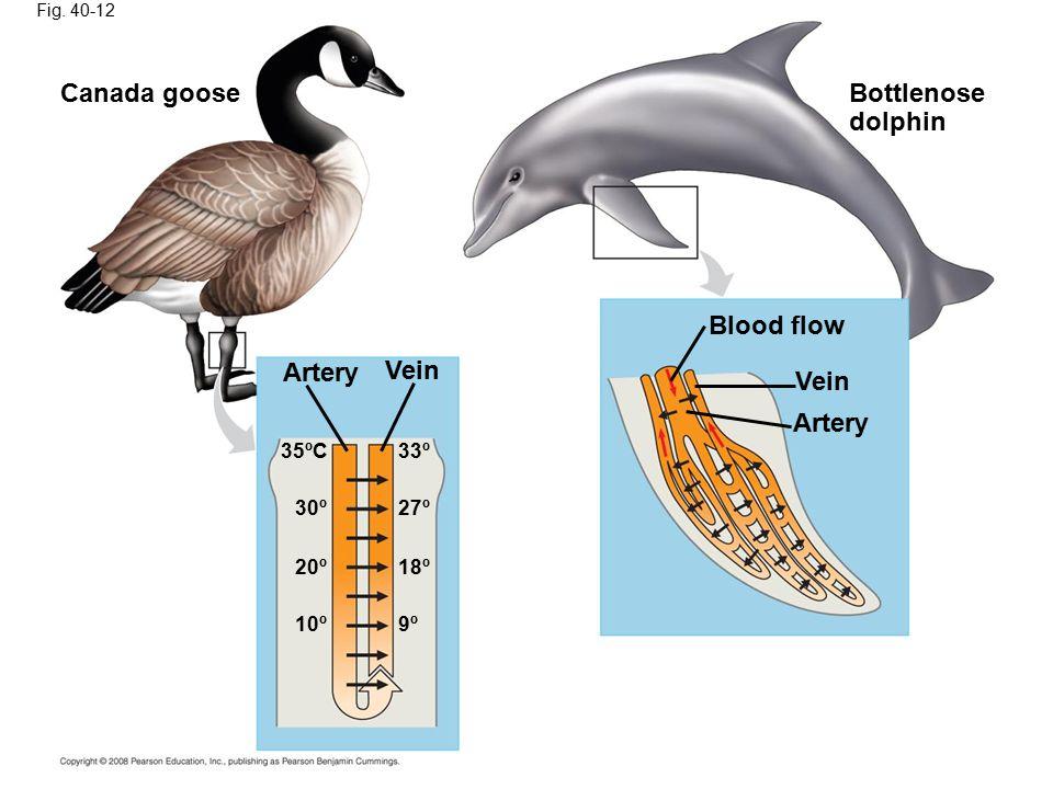 Fig. 40-12 Canada gooseBottlenose dolphin Artery Vein Blood flow 33º35ºC 27º 30º 18º 20º 10º9º