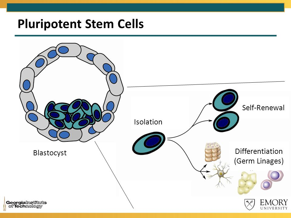 Pluripotent Stem Cells Isolation Self-Renewal Blastocyst Differentiation (Germ Linages)